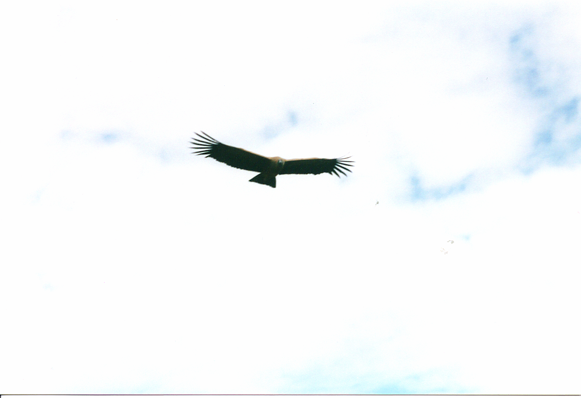 Condor in Flight, Colca Canyon, Peru