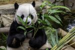 Chengdu Pandas, China